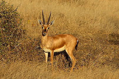 pictures of animal chinkara deer habitat